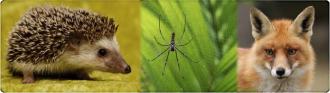 Hedgehog Spider Fox