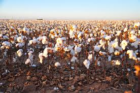 Cotton Field  Photo by  Kimberly Vardeman via flickr.com.