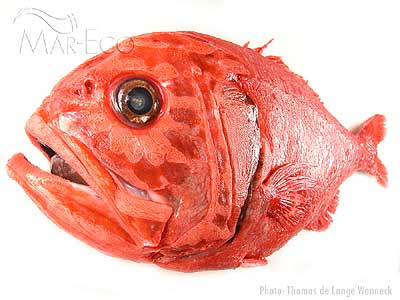 Orange_roughy_TW_400px