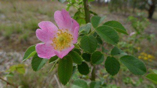 http://commons.wikimedia.org/wiki/File:Briar_Rose_in_flower_(6498552641).jpg